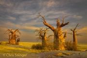 Afrikaanse Baobab - African Baobab - Adansonia digitata