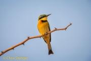 Dwergbijeneter - Little Bee-eater - Merops pusillus