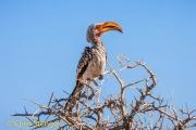 Geelsnaveltok - Yellow-billed Hornbill - Tockus leucomelas
