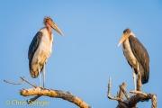 Maraboe - Marabou Stork - Leptoptilus crumeniferus
