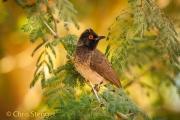 Maskerbuulbuul - African Red-eyed Bulbul