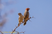 Roodkopvink - Red-headed Finch - Amadina erythrocephala