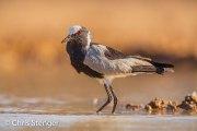 Smidsplevier - Blacksmith Lapwing - Vanellus armatus