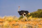 Struisvogel - Ostrich - Struthio camelus