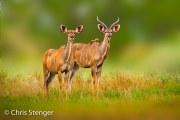 Grote koedoe - Greater Kudu - Tragelaphus strepsiceros