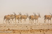Elandantilope - Eland - Taurotragus oryx