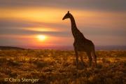 Giraffe - Giraffe - Giraffa camelopardalis