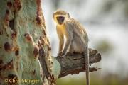 Zuidafrikaanse groene meerkat - Vervet monkey - Cercopithecus aethiops