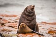 Kaapse pelsrob - Cape Fur Seal - Arctocephalus pusillus