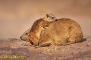 Kaapse klipdas - Rock Hyrax - Procavia capensis