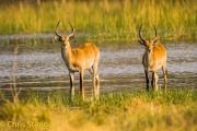 Moerasantilope - Red Lechwe - Kobus leche