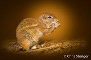 Kaapse grondeekhoorn - Cape Ground Squirrel -  Xerus inauris