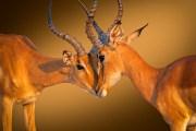 Impala - Impala -Aepyceros melampus