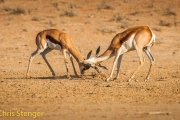 Springbok - Springbok - Antidorcas marsupialis