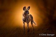Wilde hond - Wild dog-Lycaon pictus
