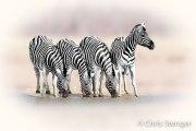 Steppezebras - Plains zebras - Equus quagga