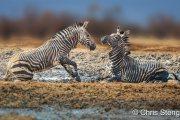 Steppezebra - Plains zebra - Equus quagga