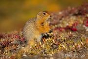 Arctische grondeekhoorn - Arctic groundsquirrel - Spermophilus parryii
