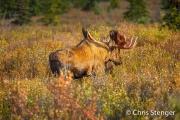 Eland - Moose - Alces alces
