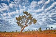 Eucalyptus boom - Snappy Gum Tree - Eucalyptus racemosa