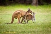 Westelijke grijze reuzenkangoeroe - Western Grey Kangeroo - Macropus fuliginosus