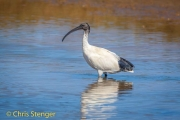Witte ibis - White Ibis - Threskiornis molukka