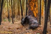 Karri woud - Karri forest