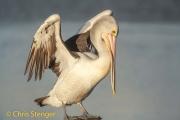 Australische Pelikaan - Australian Pelican - Pelecanus conspillatus