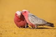Roze kaketoe - Galah - Eolophus roseicapilla