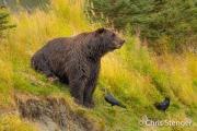 Bruine beer - Grizzly bear - Ursus arctos