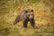 Jonge bruine beer - Young brown bear