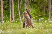 Jonge bruine beren - Young brown bears