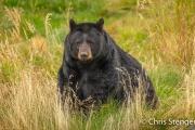 Zwarte beer - Black bear - Ursus americanus