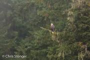 Amerikaanse zeearend-Bald Eagle-Haliaeetus leucocephalus