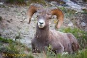 Dikhoorn schaap - Bighorn sheep - Ovis canadensis