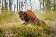 Amerikaanse bizon-Wood bison-Bison bison athabascae