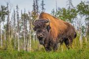 Amerikaanse bizon - Wood bison - Bison bison athabascae