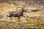 Eland-Moose-Alces alces