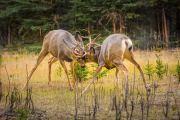 Muildierhert - Mule deer - Odocoileus hemionus