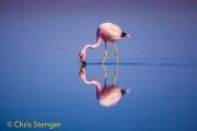 Andesflamingo - Andean Flamingo - Phoenicoparrus andinus