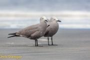Grijze meeuw - Grey Gull