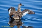 Patagonische gekuifde eend - Crested Duck - Lophonetta specularoides