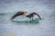 Peruaanse pelikaan - Peruvian Pelican - Pelecanus thagus