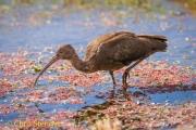 Puna ibis - Puna Ibis - Plegadis ridgwayi