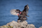 Roodkopgier - Turkey Vulture - Cathartes aura