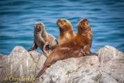 Zuid-Amerikaanse pelsrob - South American Fur Seal - Arctocephalus australis