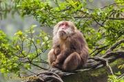 Tibetaanse Makaak - Tibetan Macaque - Macaca thibetana
