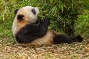 Reuzenpanda - Giant Panda - Ailuropoda melanoleuca