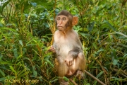 Resusaap - Resus macaque - Macaca mulatta