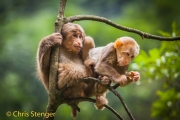 Tibetaanse Makaak - Tibetan Macaque; - Macaca thibetana